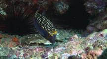 Male Whitespotted Boxfish (Spotted Boxfish), Ostracion Meleagris, Feeding On Reef