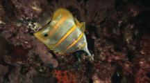 Copperband Butterflyfish (Beaked Coralfish), Chelmon Rostratus, Upside Down At Night