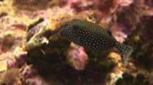 Whitespotted Boxfish (Spotted Boxfish), Ostracion Meleagris, Female