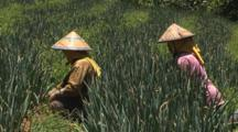 Indonesian Farmers Wearing Coolie Hats Pick Crops In Bali