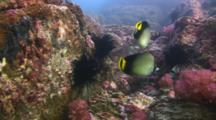 Pair Of Indian Vagabond Butterflyfish, Chaetodon Decussatus, Swim Over Reef