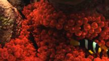 Pair Of Clark's Anemonefish, Amphiprion Clarkii, In Fluorescent Red Bubble-Tip Anemone, Entacmaea Quadricolor