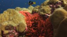 Pair Of Clark's Anemonefish, Amphiprion Clarkii, In Red Bubble-Tip Anemone, Entacmaea Quadricolor, In Hard Coral Bommie