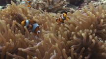 Ocellaris Clownfish (Clown Anemonefish), Amphiprion Ocellaris, In Magnificent Sea Anemone