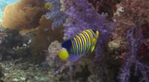 Regal Angelfish (Royal Angelfish), Pygoplites Diacanthus, Swims Amongst Soft Corals