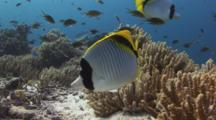 Pair Of Lined Butterflyfish, Chaetodon Lineolatus, Over Soft Coral