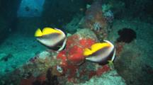 Pair Of Singular Bannerfish, Heniochus Singularius, In Cave