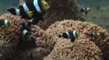 Saddleback Clownfish (Saddleback Anemonefish), Amphiprion Polymnus, On Sea Anemone