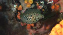 Yellow Boxfish, Ostracion Cubicus. Older Juvenile