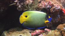 Blueface Angelfish, Pomacanthus Xanthometopon, Swims Over Coral Reef