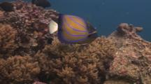 Blue Ring Angelfish, Pomacanthus Annularis, Swims Over Coral Reef