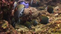 School Of Redtail Butterflyfish, Chaetodon Collare, Feeding On Coral Reef