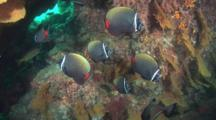 School Of Redtail Butterflyfish, Chaetodon Collare, In Cave