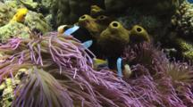 Pair Of Clark's Anemonefish, Amphiprion Clarkii, In Long-Tentacled Anemone