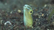 Hairtail Blenny (Snake Blenny), Xiphasia Setifer, In Volcanic Sand