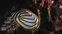 Meyer's Butterflyfish (Scrawled Butterflyfish), Chaetodon Meyeri
