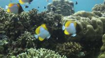 Pyramid Butterflyfish, Hemitaurichthys Polylepis, Over Coral Reef