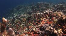School Of Dispar Anthias, Pseudanthias Dispar, Over Coral Reef