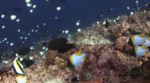 School Of Pyramid Butterflyfish, Hemitaurichthys Polylepis, Over Coral Reef