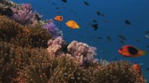 Saddle Anemonefish (Red Saddleback Anemonefish), Amphiprion Ephippium, In Sea Anemone