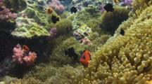 Saddle Anemonefish (Red Saddleback Anemonefish), Amphiprion Ephippium, In Sea Anemone On Coral Reef