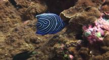 Juvenile Emperor Angelfish, Pomacanthus Imperator, Feeds On Coral Reef