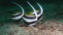 Longfin Bannerfish (Pennant Coralfish), Heniochus Acuminatus, Feeding On Sandy Seabed