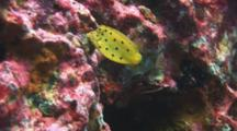 Juvenile Yellow Boxfish, Ostracion Cubicus, Swims Over Reef