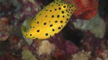 Juvenile Yellow Boxfish, Ostracion Cubicus, With Coral Grouper