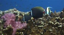 Pair Of Redtail Butterflyfish, Chaetodon Collare, With Fire Coral And Soft Coral