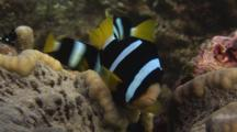 Clark's Anemonefish, Amphiprion Clarkii, In Adhesive Anemone With Domino Damsels