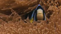 Clark's Anemonefish, Amphiprion Clarkii, In Carpet Anemone, Stichodactyla Sp.