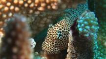 Leopard Blenny, Exallias Brevis, Hiding In Cauliflower Coral, Pocillopora Sp.