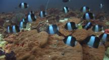 School Of Black Pyramid Butterflyfish (Brown-And-White Butterflyfish), Hemitaurichthys Zoster