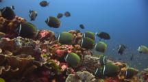School Of Redtail Butterflyfish, Chaetodon Collare, Over Coral Reef