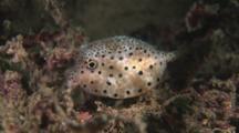 Juvenile Horn-Nosed Boxfish, Ostracion Rhinorhynchos