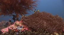 Clark's Anemonefish, Amphiprion Clarkii, On Sea Anemone