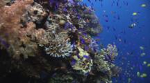 School Of Anthias And Golden Damsels Over Coral Reef With Scuba Divers