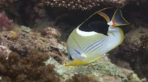 Saddle Butterflyfish, Chaetodon Ephippium, Feeding On Reef