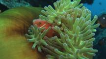 Pink Anemonefish (Pink Skunk Clownfish), Amphiprion Perideraion, And Domino Damsels, Dascyllus Trimaculatus, In Green Closed Magnificent Sea Anemone