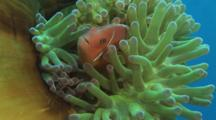 Pink Anemonefish (Pink Skunk Clownfish), Amphiprion Perideraion, And Domino Damsel (Threespot Dascyllus), Dascyllus Trimaculatus, In Green Closed Magnificent Sea Anemone