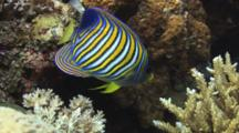 Regal Angelfish (Royal Angelfish), Pygoplites Diacanthus, On Hard Coral Reef