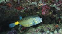 Yellow Boxfish, Ostracion Cubicus, Shelters In Reef. Large Adult