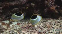Pair Of Saddle Butterflyfish, Chaetodon Ephippium, Feeding On Rubble Seabed