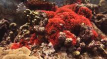 Fiji Barberi Clownfish, Amphiprion Barberi, In Fluorescent Red Bubble-Tip Anemone, Entacmaea Quadricolor