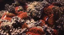 Fiji Barberi Clownfish, Amphiprion Barberi, In Red Bubble-Tip Anemone, Entacmaea Quadricolor