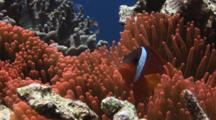 Fiji Barberi Clownfish, Amphiprion Barberi, In Red Bubble-Tip Anemone, Entacmaea Quadricolor, On Coral Reef