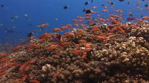 School Of Lyretail Anthias And Reticulated Dascyllus Over Coral Reef Avoid Moon Wrasse