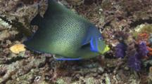Semicircle Angelfish (Koran Angelfish), Pomacanthus Semicirculatus, Feeding On Hard Coral Reef