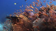 School Of Lyretail Anthias, Pseudanthias Squamipinnis, Over Pretty Coral Reef